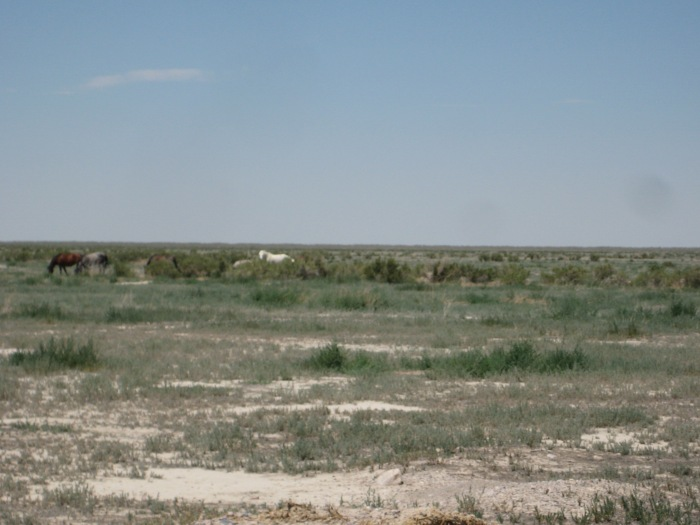 A herd of mustangs out of Dugway... Utah Pony Express Trail.